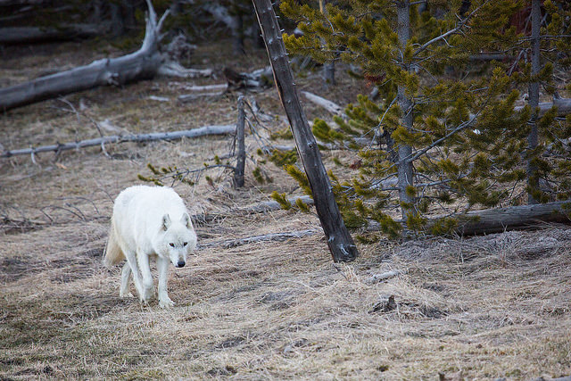 Yellowstone national park straight from the horses heart the wolf pictured above was one of three rare white wolves in the park and had 14 living pups park officials are offering a 5000 reward publicscrutiny Image collections