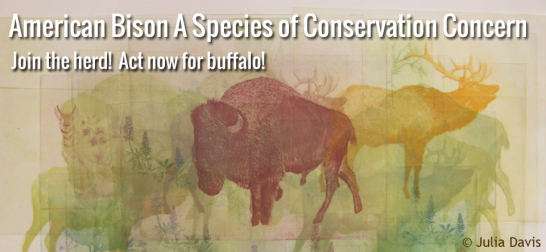 Action Alert Save Americans With >> Action Alert Please Help Buffalo Field Campaign S Efforts To Save